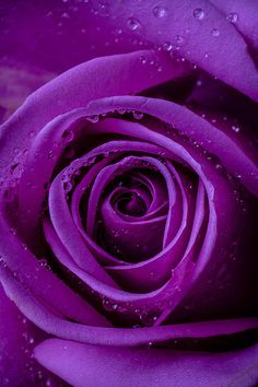 Purple Rose Close Up by Garry Gay