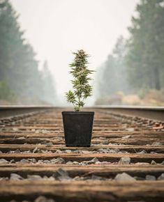 Mainstream marijuana