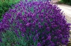 'Hidcote' Lavender.  An English lavender that is small, compact, great to create a border or hedge for a cottage garden feel