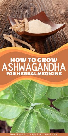 Ashwagandha plants aren't something you generally find outside of India and Nepal, but they'll grow easily in a backyard garden.  Also known as Indian ginseng, it's a potent medicinal in the Ayurvedic tradition.  It's said to impart the strength and vitality of a stallion, and western herbalists know it as an adaptogen that can be used for many different conditions. #herbalremedies #naturalmedicine #ashwagandha #practicalselfreliance Diy Herb Garden, Herb Garden Design, Herb Gardening, Herbs Garden, Indoor Gardening, Garden Tips, Garden Ideas, Healing Herbs, Medicinal Plants