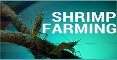 Why Shrimp Farming?                                                       …