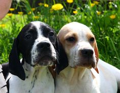 Pointer Puppies | Ross On Wye, Herefordshire | Pets4Homes