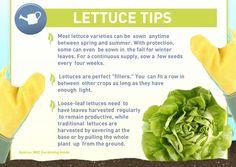 Lettuce Gardening Tips #gardening #lettuce
