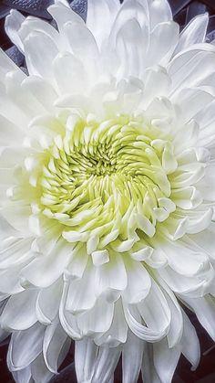 Flower Markets Near Me | Bulk Flowers Pink And White Flowers, Turquoise Flowers, Orange Flowers, Spider Mums, White Chrysanthemum, Mums The Word, Pink Sky, Flower Market, Wedding Flowers