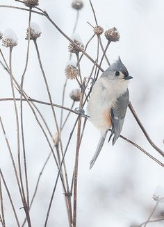 Tufted Titmouse (Baeolophus bicolor) by Ed Post | http://www.flickr.com/photos/edpost/11788240063/