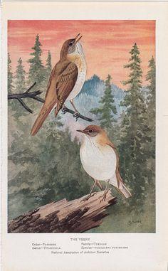 Vintage Audubon Bird Print - 1925 - The Veery on Etsy, $10.00