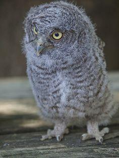 Baby Screech Owl <3