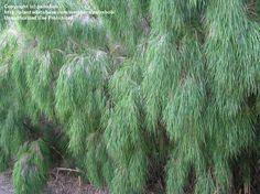 mexican bamboo - Google Search Encinitas California, Pasadena California, Los Angeles Landscape, Famous Daves, Clay Soil, East Bay, Ornamental Grasses, Begonia, Woody