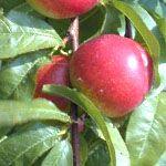 Nectarine ; Zelfbestuivende rassen zijn Fantasia en Madame Blanchet
