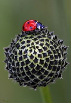 Lady bug and the unusual flower Lady Bug, She's A Lady, Ladybug House, Bees And Wasps, Love Bugs, Pretty Flowers, Beautiful Creatures, Animals And Pets, Cool Photos