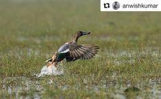 #photography #mangalajodi #birding #odisha #bhubaneswarbuzz pic courtesy  @anwishkumar  #flappybird  #northernshoveler  #wildlife  #nikon  #nikon_gears  #nikonphotography  #nikonindiaofficial  #manglajodi  #natgeo  #animalplanet  #odishatourism  #odishawildlife. Tag #bhubaneswarbuzz to get featured