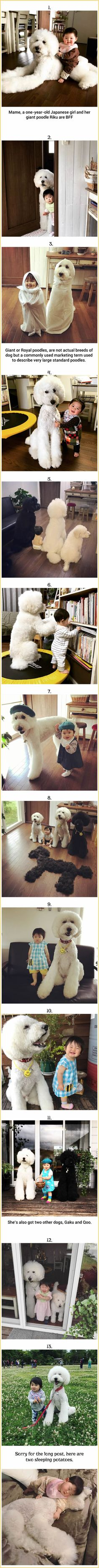 Cute Japanese Toddler And Fluffy Giant/Royal Poodles Make The Perfect Team!
