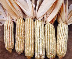 Jellicorse Twin Dent Corn 1 lb