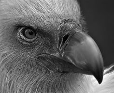 The vulture  By: Mehmet Akin
