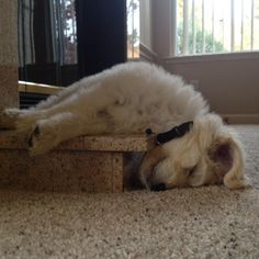 Golden doodle puppy napping