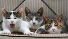 Cats Do Control Humans, Study Finds Crazy Cat Lady, Crazy Cats, Kittens Cutest, Cats And Kittens, Kitty Cats, Cat Health Care, Cat Crying, Cat Stretching, Cats And Cucumbers