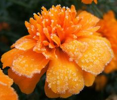 Frosted Marigold | Flickr - Photo Sharing!