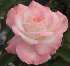 Secret™ | Star® Roses and Plants. I love Hybrid Teas! #Hybridtearoses Fragrant Roses, Shrub Roses, Floribunda Roses, Pretty Roses, Beautiful Roses, Rose Companion Plants, Types Of Roses, Peonies Garden, Flowers Garden