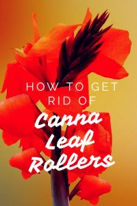 Are your canna lilies looking ripped to shreds and terrible? You probably are the victim of canna leaf rollers! How to identify and get rid of canna leaf rollers Garden Insects, Garden Pests, Garden Fertilizers, Gardening For Beginners, Gardening Tips, Canna Flower, Raised Bed Garden Design, Weed Control, Down South