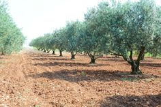 Oliviers - Olive trees in Provence - Vanessa Romano photographe culinaire
