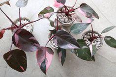 ayanas: Philodendron 'Pink princess'