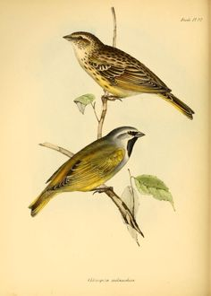 pt. 3 (Birds) - The zoology of the voyage of H.M.S. Beagle ... - Biodiversity Heritage Library