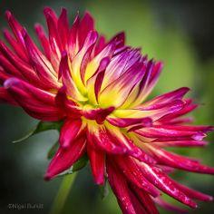 Dahlia 'Weston Spanish Dancer': cactus