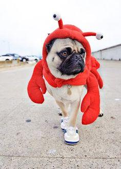 Lobster Pug! In sneakers!  #JoesCrabShack