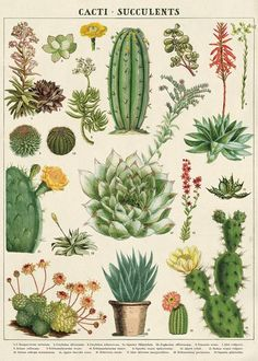 planting Drawing vintage - Vintage Succulents Poster, Vintage Botanical Print, Cactus Print, Cactus Art, Home Decor Wall Art Vintage Botanical Prints, Botanical Drawings, Botanical Art, Botanical Posters, Vintage Prints, Vintage Botanical Illustration, Graphic Illustration, Floral Posters, Vintage Style