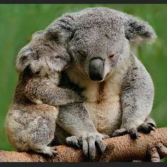 mother and baby koala Amazing Animals, Animals Beautiful, Cute Funny Animals, Cute Baby Animals, Wild Animals, Animals Tattoo, Australian Animals, Exotic Animals, Tier Fotos