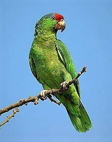 The Red Crowned Amazon Parrot