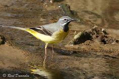 Bergeronnette des ruisseaux - Motacilla cinerea