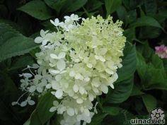 Hydrangea paniculata 'Limelight' - Pluimhortensia in de Digituin.