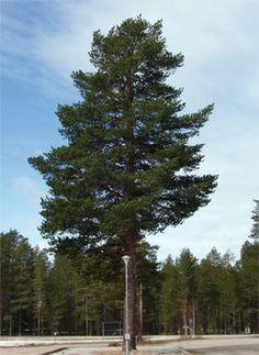 Mänty. Kasvaa lähes 40 metriseksi. Viihtyy kuivissa ja valoisissa oloissa.