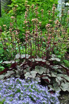 Heuchera 'Silver Shadows' plant in mass in shade garden