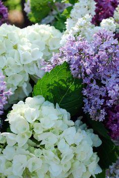 Lilacs and hydrangeas.