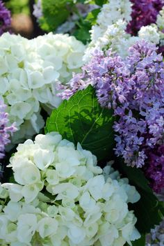 Lilacs and hydrangeas.