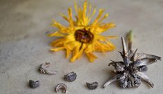 Whoops! Your plants went to seed... That's OK! Learn how to harvest seed clusters and get inspired with our recipes and ideas for using up all these seeds.