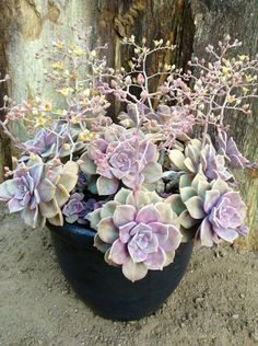 "GRAPTOVERIA ""PURPLE DREAMS"" Plants, Planting Flowers, Echeveria, Garden Plants, Flowers, Succulent Terrarium, House Plants, Air Plants, Blooming Succulents"