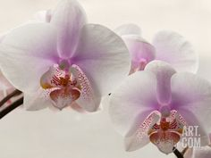 Close Up of Phalaenopsis Orchid Blossoms Photographic Print by Darlyne A. Murawski at Art.com