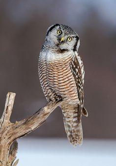 """Inquisitive by Bill McMullen on Flickr. """"Northern Hawk Owl photographed in Ottawa, Ontario, winter 2013."""""""