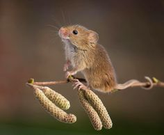 mouse and catkins