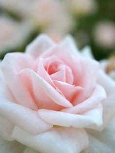 Rose Sayokyoku, Miniature rose, Japan Keisei rose nursery, 1996