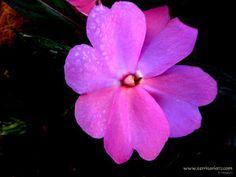 Flores Web Colombia- Portal fotografico de flores nativas y exoticas de Colombia - imagenes de orquideas, rosas, heliconias, flores diminutas, mandalas de flores.