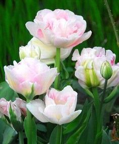 Perhaps the all time favorite tulip of gardeners in this country - and with good reason - double pink Angelique is romantic, lush and, yes, even fragrant. Need more? This beauty frequently ups the ante by producing more than one soft pink, rose and white, lightly ruffled bloom per stem. Angelique is unsurpassed for cutting and always admired in the garden; plant in generous groupings for best effect.
