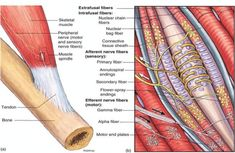 Question: I am a little confused by your description of the muscle spindle gamma system (the muscle fibers at the ends of a spindle) in which he describes the gamma system. Muscle Anatomy, Body Anatomy, Human Anatomy, Spinal Cord Anatomy, Medical Careers, Medical Science, Medical School, Sensory Nerves, Nerve Fiber