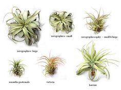 Air Plant Care: How To Care For Air Plants, Aeriums and Tillandsia ...