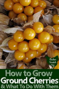 Learn how to grow ground cherries in your garden and discover a few new ground cherry recipes to make the most from your harvest #fruitgarden #growfruit #groundcherries