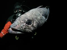 """Antarctic toothfish in McMurdo Sound-- save the Antarctic toothfish- don't order """"Chilean Sea Bass"""" in restaurants!!"""