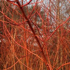 Red-osier dogwood lending winter a spark of color in the Native Plant Garden.